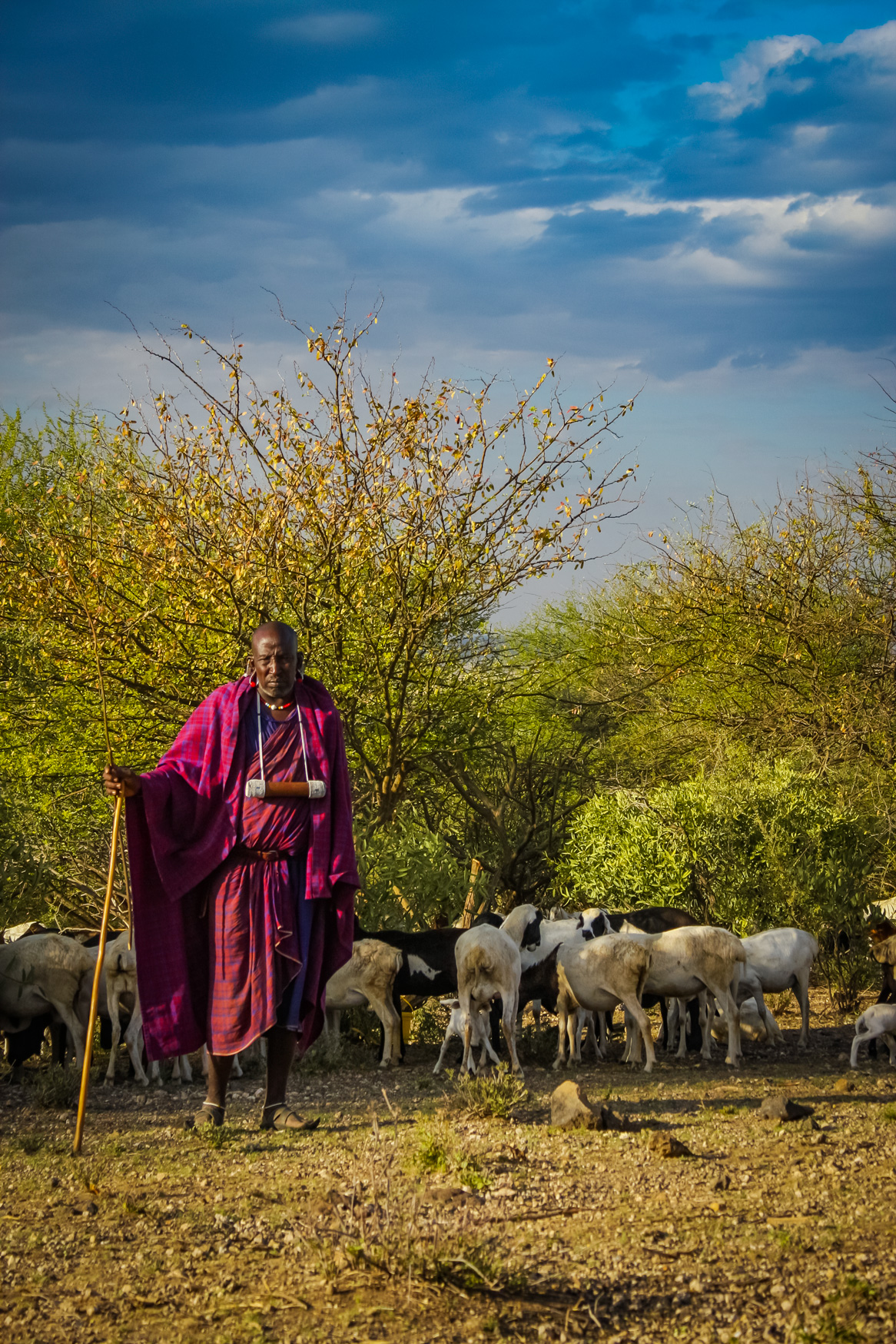 masai chief standing with stick with goats on the Serengeti Tanzania Africa - portrait
